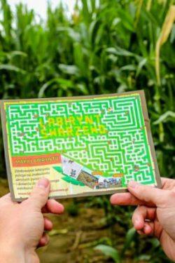 Pole kukurydzy w Swarzewie